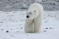 北极熊高清图片(15张)