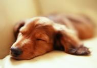 可爱狗狗睡姿图片(10张)
