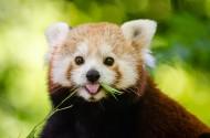 活泼可爱的小熊猫图片(10张)