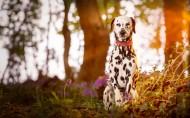可爱的大麦町犬图片 (11张)
