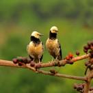 黑领椋鸟图片(6张)