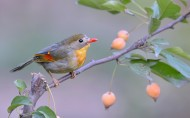 静静思考的相思鸟图片(7张)