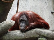 猩猩图片(12张)