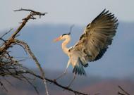 鹭鸟图片(8张)