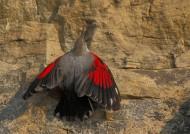 红翅旋壁雀图片(11张)