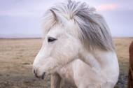 白色的骏马图片(8张)