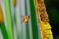 蜜蜂图片(13张)