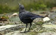 紫啸鸫鸟类图片(9张)
