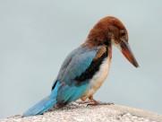 白胸翡翠鸟类图片(8张)