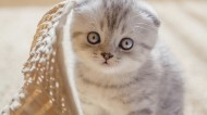可爱的折耳猫图片(7张)