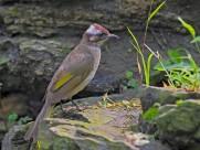 领雀嘴鹎鸟图片(9张)