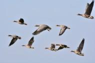 展翅高飞的大雁图片(19张)