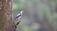 丝光椋鸟图片(17张)