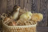刚孵出的小鸡图片(10张)