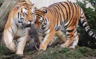 勇猛老虎图片(29张)