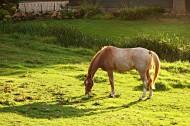 草地上的骏马图片(10张)