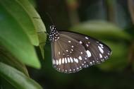 神秘的黑蝴蝶图片(10张)