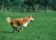 草地玩耍狗狗图片(27张)