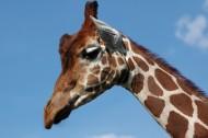长颈鹿的头部图片(12张)