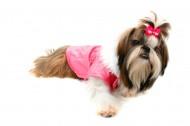 毛绒绒的西施犬图片(10张)