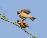 中华攀雀鸟类图片(12张)