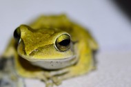 树蛙图片(5张)