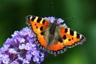 漂亮的花蝴蝶图片(14张)