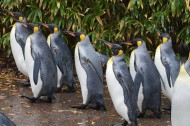 萌萌的企鹅图片(11张)
