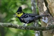 黄颊山雀图片(8张)