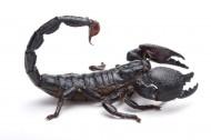 蝎子图片(4张)