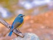红胁蓝尾鸲鸟类图片(7张)