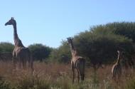 健壮的长颈鹿图片(15张)