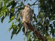 红隼鸟类图片(7张)
