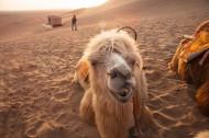 沙漠中的骆驼图片(12张)