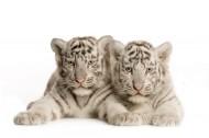 老虎图片(33张)