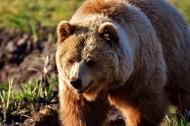 体型庞大的棕熊图片(12张)