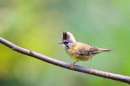 头顶尖角的黄颈凤鹛图片(14张)