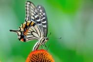 蝴蝶图片(9张)