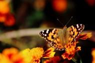 可爱蝴蝶图片(10张)