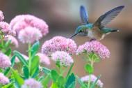 玲珑小巧的蜂鸟图片(10张)