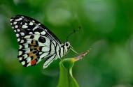 美丽的蝴蝶图片(12张)