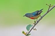 红胸啄花鸟图片(6张)