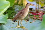 荷塘里的黄苇鳽图片(12张)