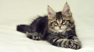 可爱的缅因库恩猫图片(18张)