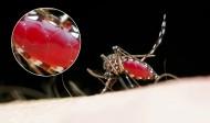 吸血的蚊子图片(8张)
