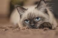 瞪着眼睛的猫咪图片(10张)