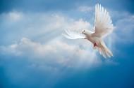 在天空飞翔和平鸽图片(13张)