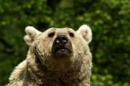 肥头大耳的棕熊图片(10张)