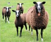 绵羊图片(23张)