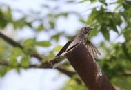 北灰鹟鸟类图片(7张)